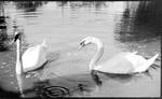El Paso, Texas, Lake, swans
