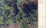 Tobacco Plants, Mexico